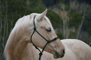 Foto 1 - La capezza come forma di controllo del cavallo esiste da millenni, nelle sue varie tipologie ed evoluzioni