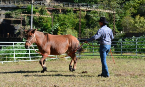 Foto 2 - L'orecchio interno che si sposta verso il cavaliere indica un inizio di attenzione. Impariamo a leggere i segnali che il cavallo (o il mulo, in questo caso) ci invia.