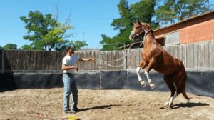 Foto 3 - Gli stalloni, di fronte ad una paura, per prima cosa aggrediscono e solo come soluzione alternativa fuggono.