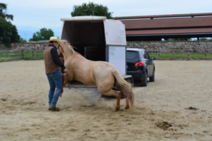 Foto 5 - Le difese che un cavallo può aver appreso durante il caricamento in trailer sono le più diverse, dalla fuga, all'aggressione, all'immobilità. Qualsiasi tecnica gli abbia permesso di non essere caricato, è per lui un sistema vincente.
