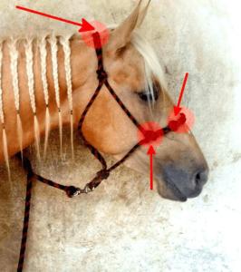 Foto 5 - I principali punti di pressione di una capezza d'addestramento sono sugli zigomi (nodi laterali), sulle fosse nasali (nodi superiori) e dietro la nuca.