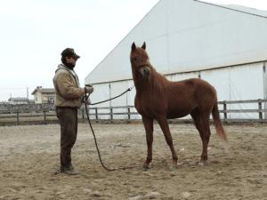 Foto 8 - Il lavoro all'aperto porta i cavalli a distrarsi facilmente e quindi costringono il cavaliere a numerosi richiami all'attenzione. Un tondino chiuso consente invece al cavallo, specie se puledro, di concentrarsi più a lungo.