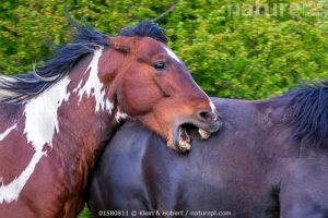 Stallone che aggredisce cavallo